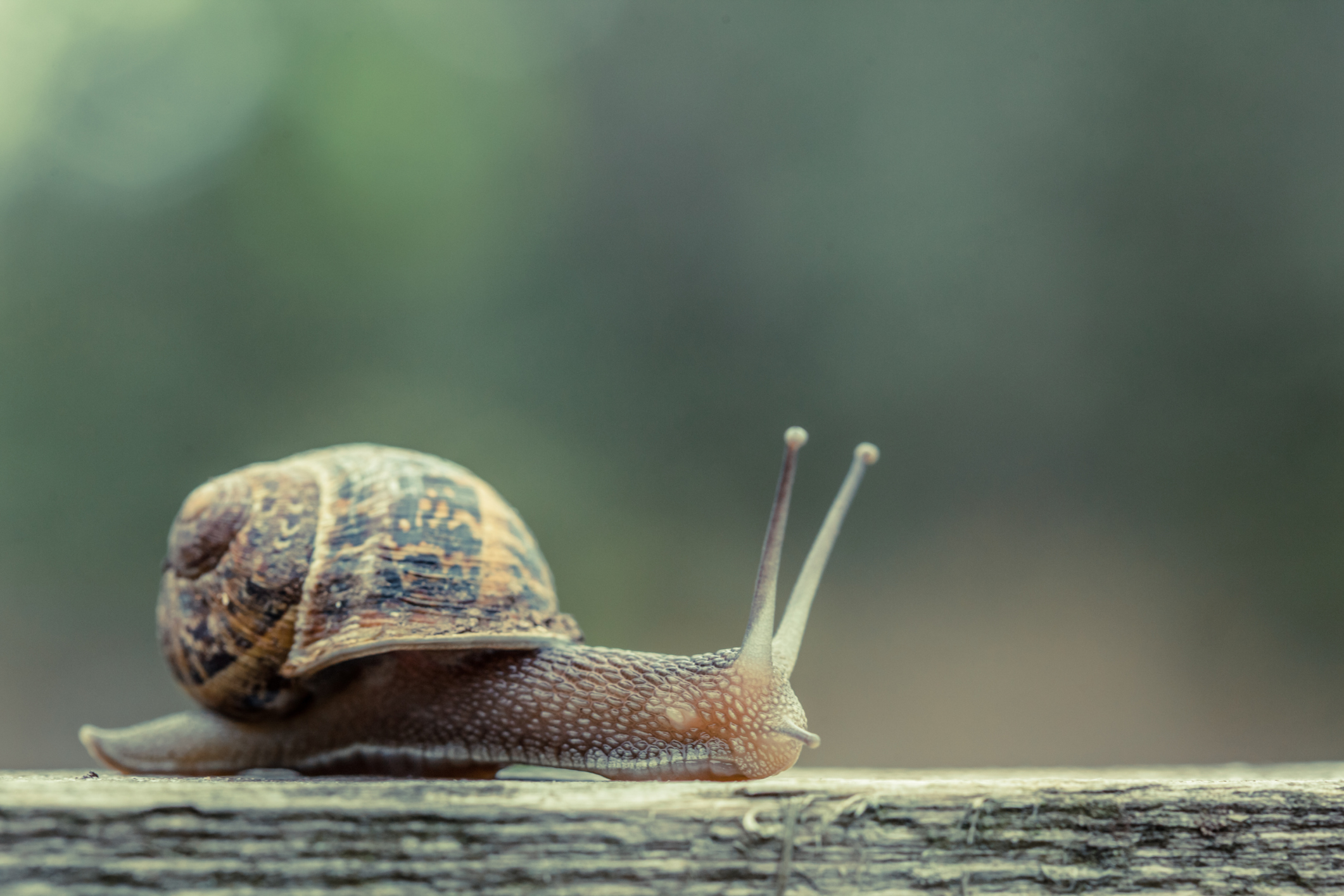 how to know if a snail is pregnant